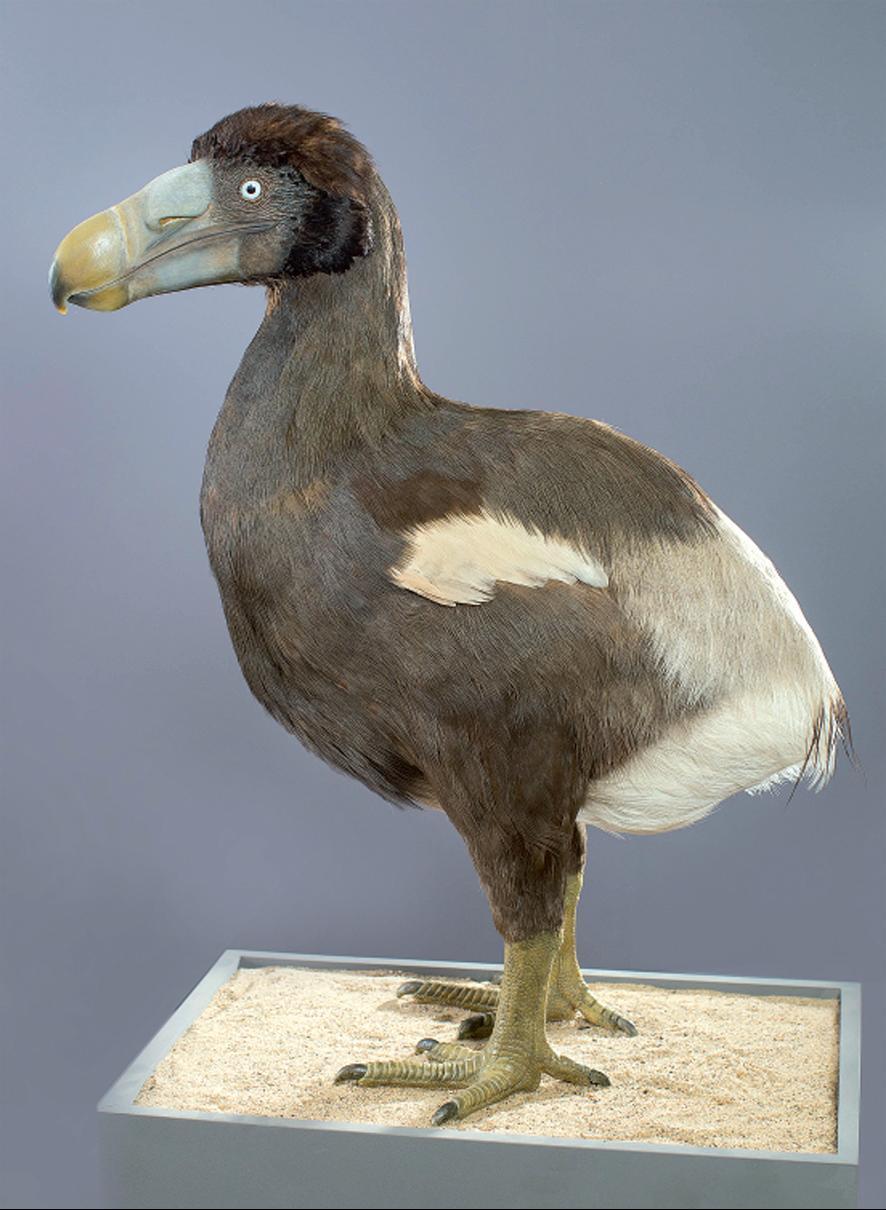 Rekonstruktion eines Dodos