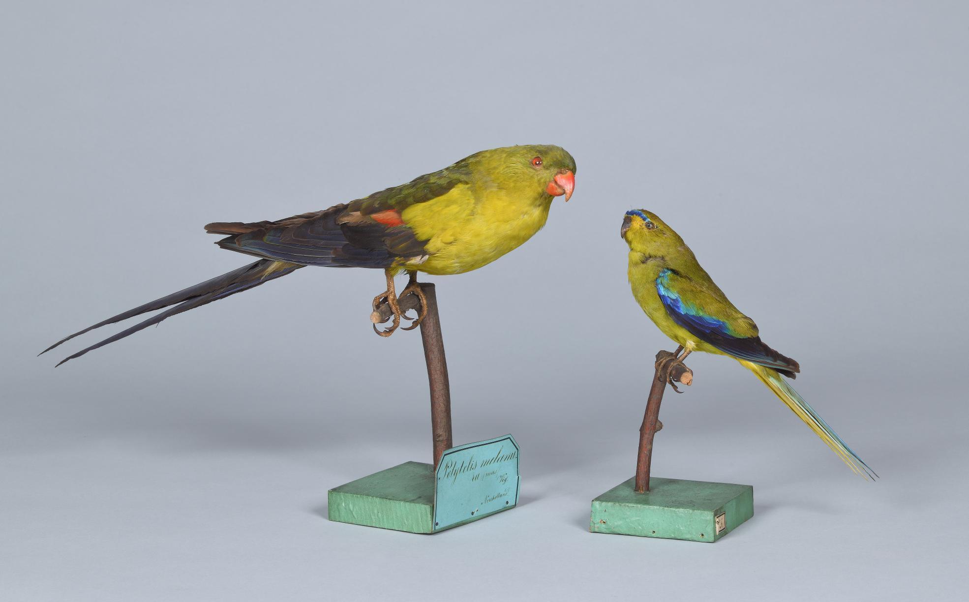 Vogelpräparate (9157, 9208) aus der Sammlung von Missionar Teichelmann in Adelaide (Australien) von 1843
