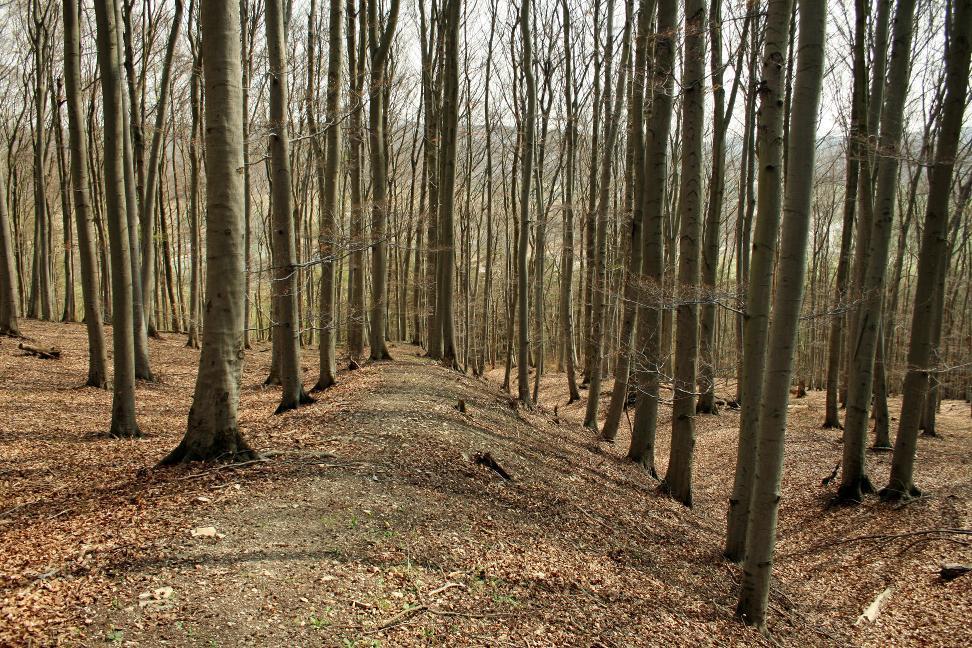 Der Wall auf dem Eichenberg bei Sondershausen ist ein Markantes Geländemerkmal im Wald.