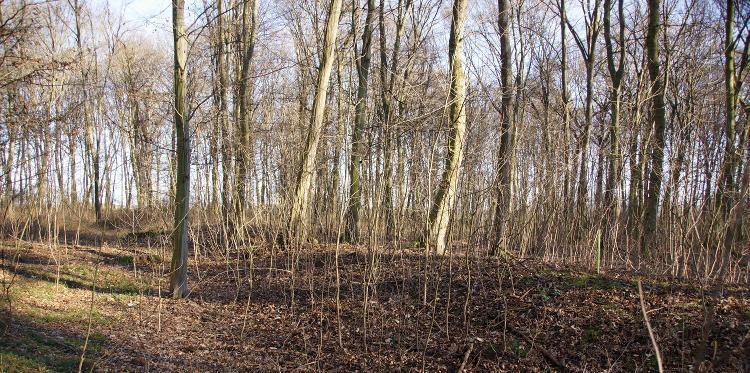 Die Reste eines flachen Walles mit vorgelagertem Graben bei Pfiffelbach.